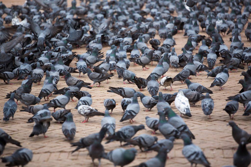 Invasion de pigeons